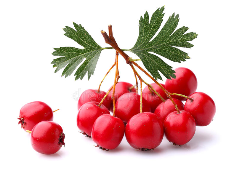 Hawthorn berry. With leaves in closeup royalty free stock images