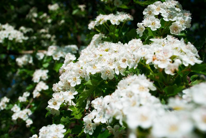 Hawthorn blossom flower on tree. Spring nature background white royalty free stock photography
