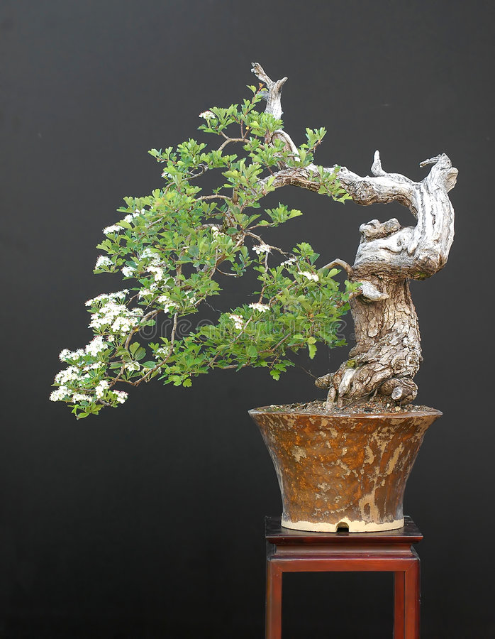 Hawthorn bonsai in bloom. European hawthorn, Crataegus monogyna, 65 cm stock photography
