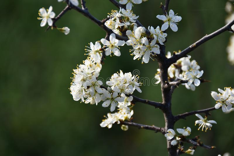 Hawthorn. A branch with blossom of hawthorn stock photos