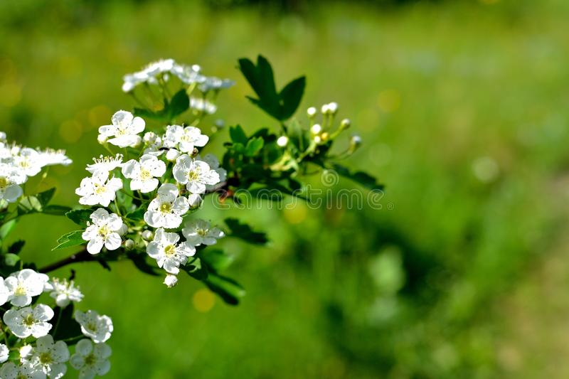Hawthorn. A branch of blossom hawthorn. the mayflower stock image
