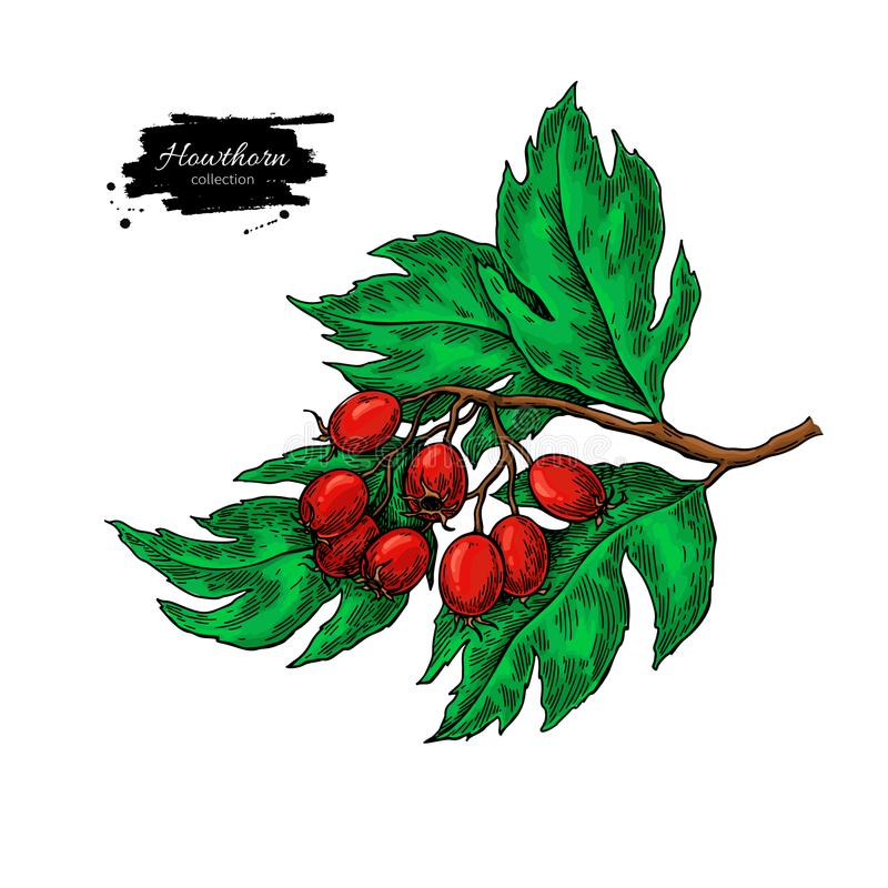 Hawthorn branch drawing. Vector hand drawn plant with red berries isolated. On white background. Botanical herb. Artistic illustration royalty free illustration