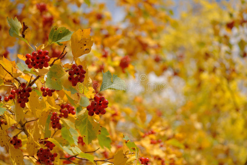 Hawthorn on a branch royalty free stock photo