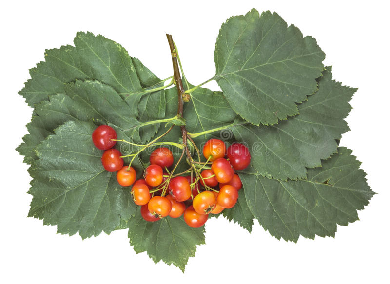 Hawthorn bunch with red ripe berries stock photo