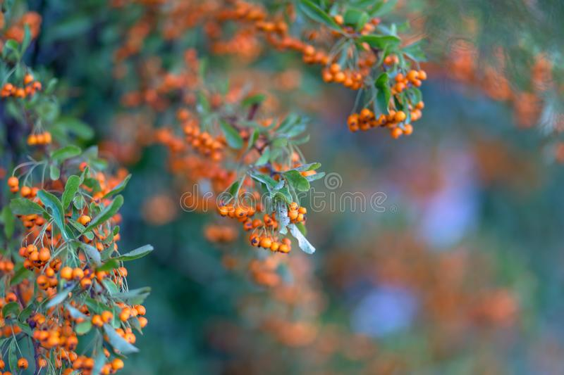 Hawthorn bush laden with berries in autumn. Decorative bush with orange berries. Orange berries with green leaves. Soft focus. royalty free stock photo