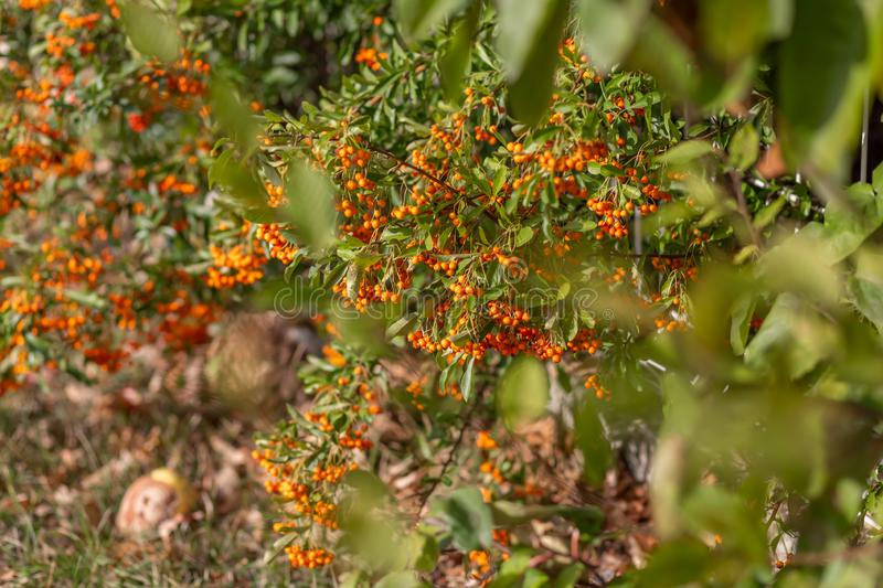 Hawthorn bush laden with berries in autumn. Decorative bush with orange berries. Nature blurred background. Shallow depth of field stock photos