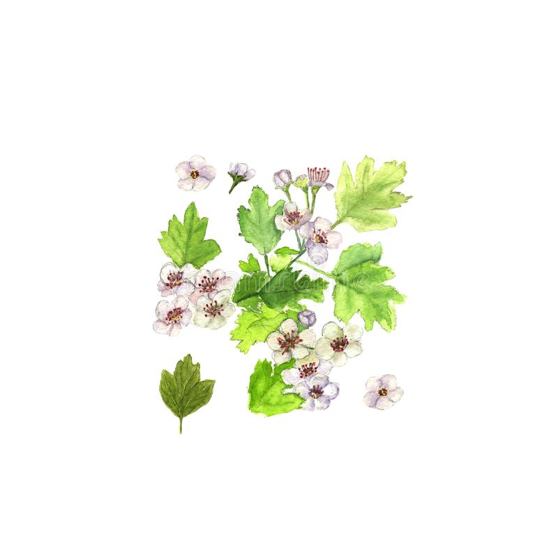 Hawthorn crataegus branch with flowers and leaves. Watercolor on white royalty free illustration