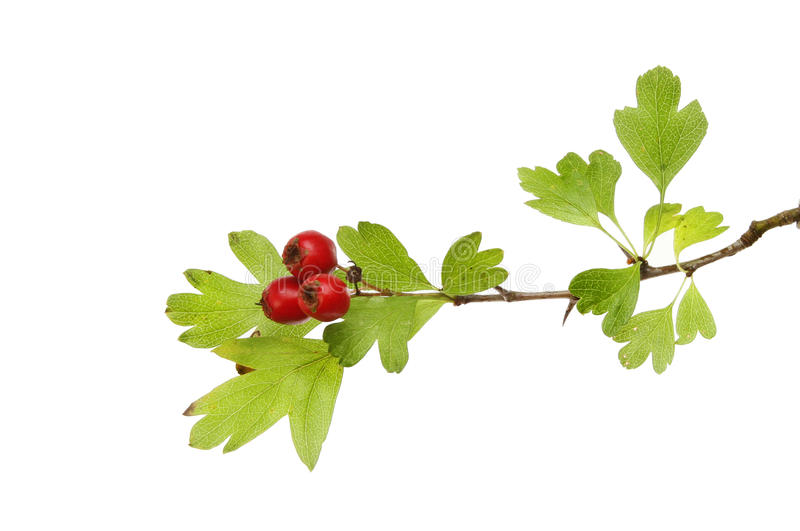 Hawthorn. Crataegus monogyna, berries and leaves isolated against white stock photos