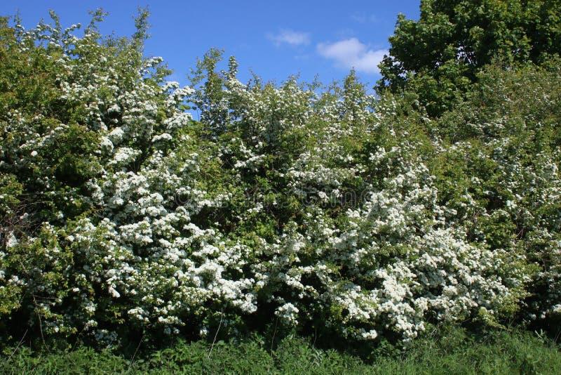 Hawthorn, Crataegus monogyna, blossom in spring stock images