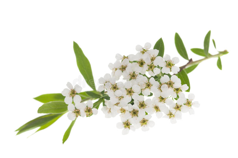 Hawthorn. (Crataegus monogyna) branch with flowers isolated on a white background royalty free stock photography