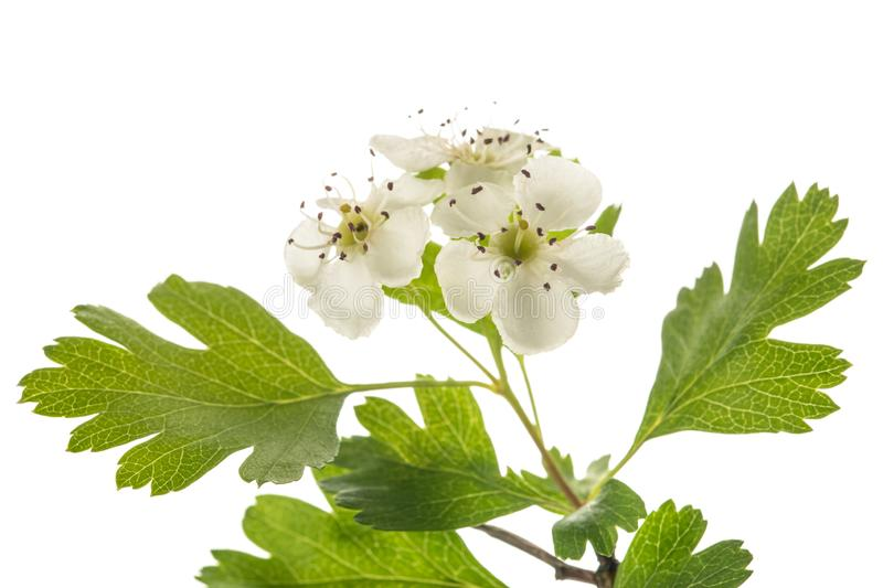Hawthorn. Crataegus monogyna  flowers isolated on  white background stock images
