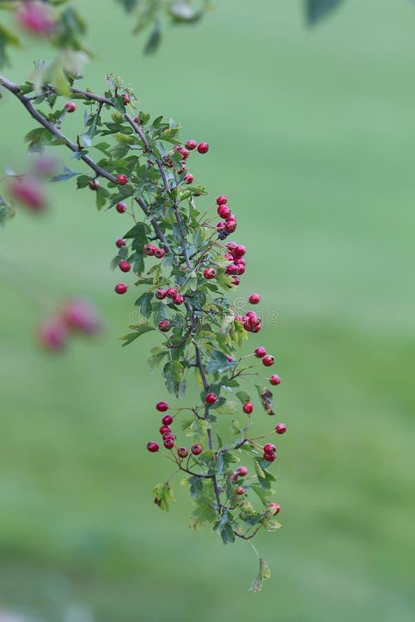 Hawthorn stock afbeelding