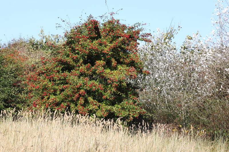 Hawthorn in dutch dunes of Ameland Island stock image