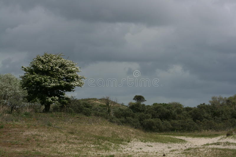 Hawthorn in Dutch dunes royalty free stock images