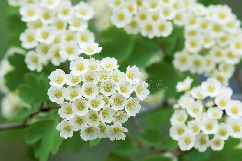 Hawthorn flowers. The close-up of hawthorn flowers royalty free stock image