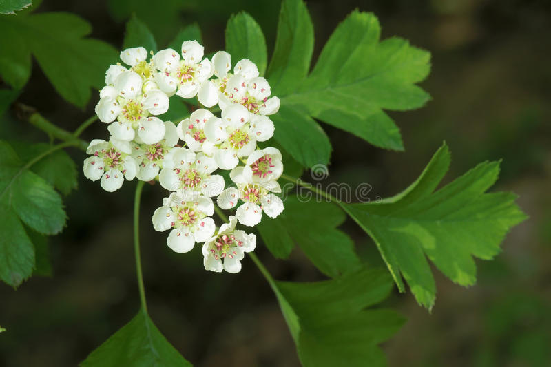 Hawthorn flowers. The close-up of white hawthorn flowers stock photo