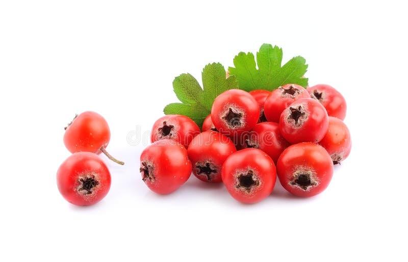 Hawthorn fruits . stock photography