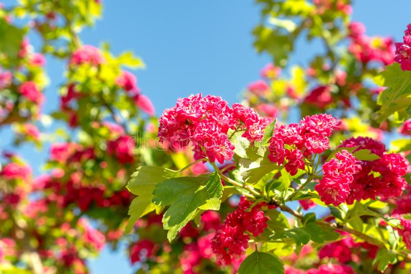 Hawthorn in the garden stock images