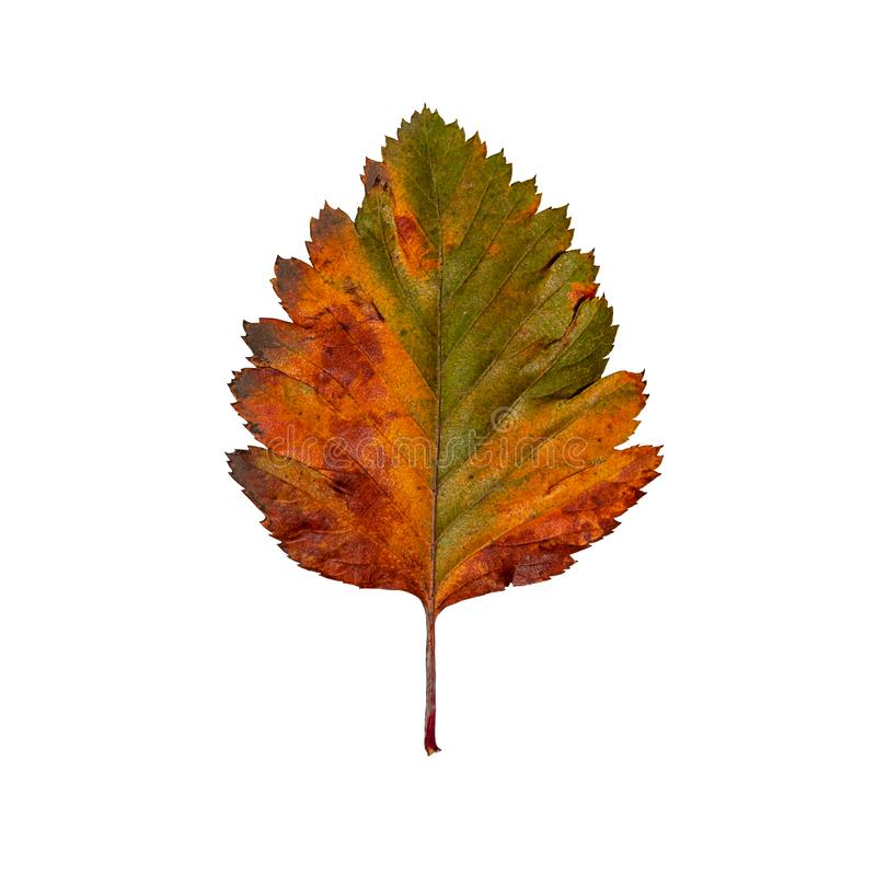 Hawthorn leaf in autumn isolated. Colored hawthorn leaf in autumn isolated. Colors: red, orange, yellow, green royalty free stock photos
