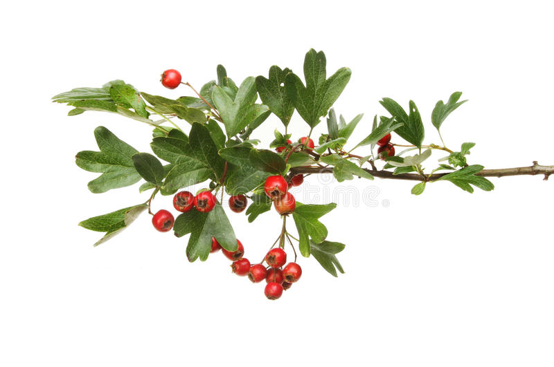 Hawthorn leaves and berries. Hawthorn, Crataegus mongyna, leaves and red ripe berries isolated against white royalty free stock images