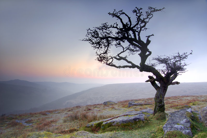 Hawthorn at sunrise. Hazy sunrise at Combestone Tor Dartmoor South Devon England royalty free stock image