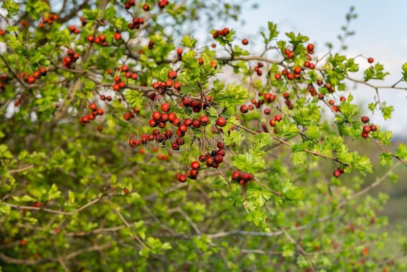Hawthorn tree branch with fruits green leaves royalty free stock images