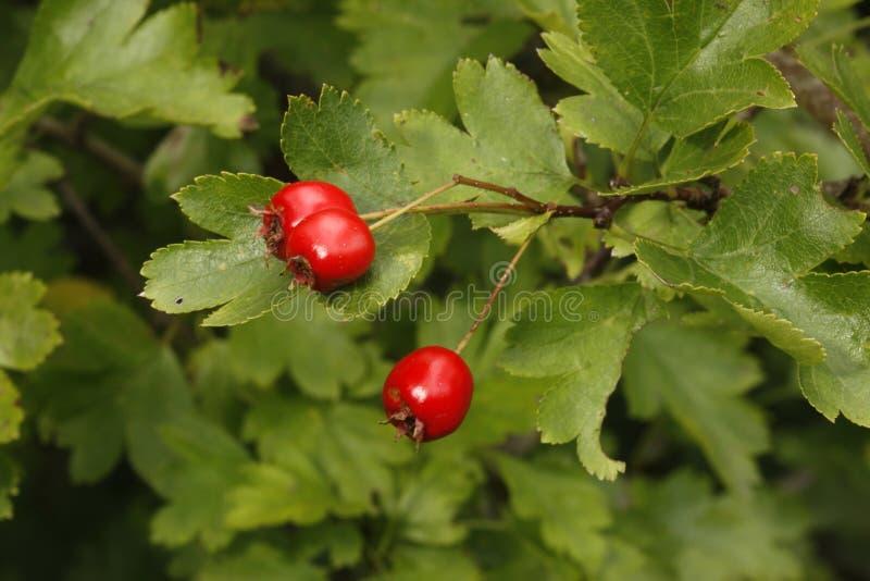 Hawthorn tree or bush, Crataegus monogyna royalty free stock images
