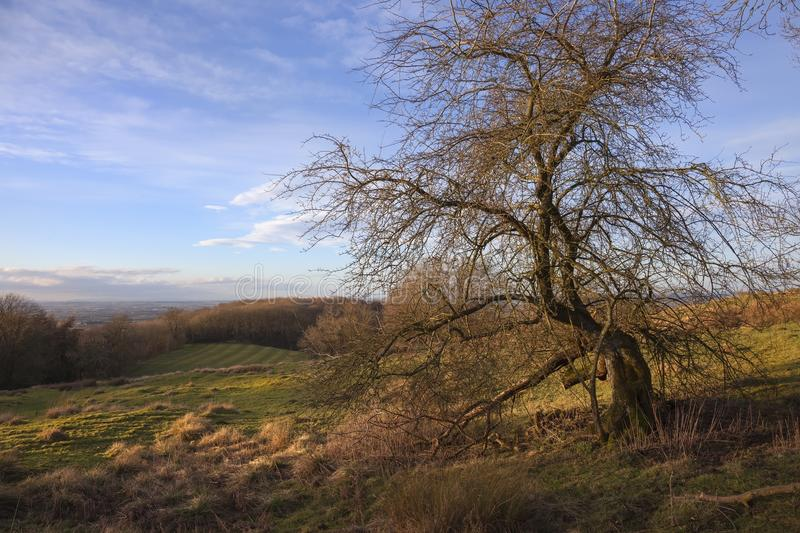 Hawthorn tree, Dovers Hill, Cotswolds stock photo