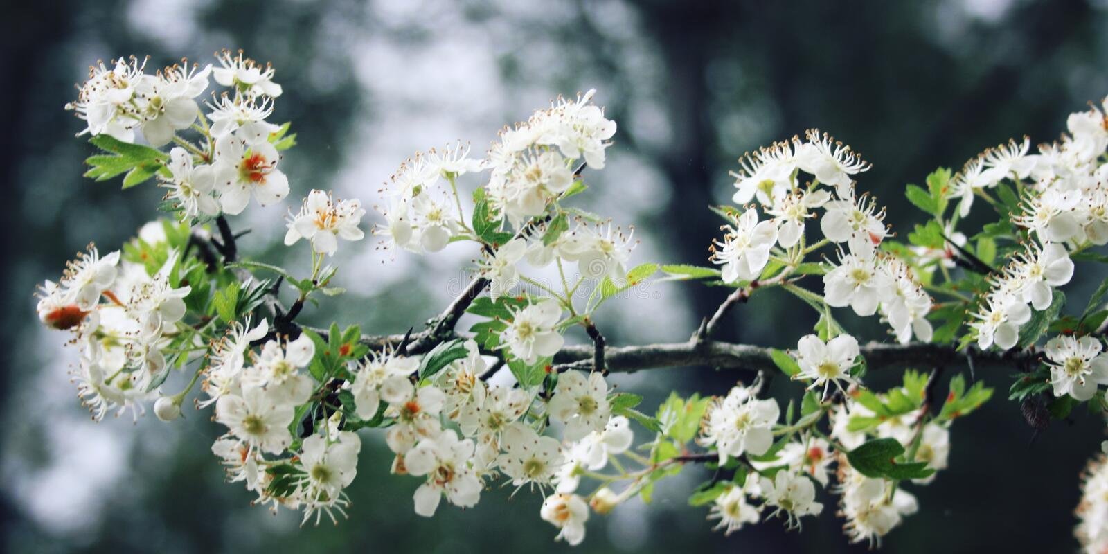 Hawthorn tree shrub. White flowers of Hawthorn. Aged photo. White flowers of Hawthorn. Aged photo. Blossom during springtime. Vintage effect. Blackthorn flowers royalty free stock photo