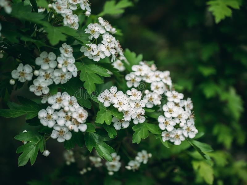 Hawthorn tree, white flowers blossom on spring green nature background stock photography
