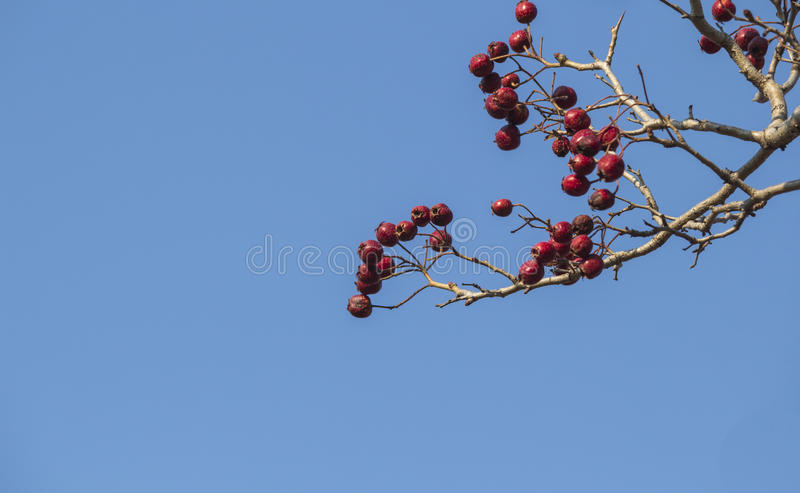 Download Hawthorn trees in autumn stock image. Image of season - 39507387