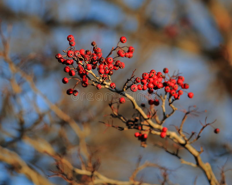 Hawthorne berries. Bright red Hawthorne Berries hanging in the forest in Eastern Missouri in winter stock photo