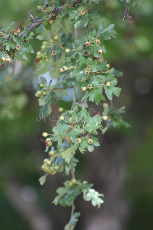 Hawthorne Berries on a Tree. Taken during summertime. Beautiful green leaves royalty free stock photo