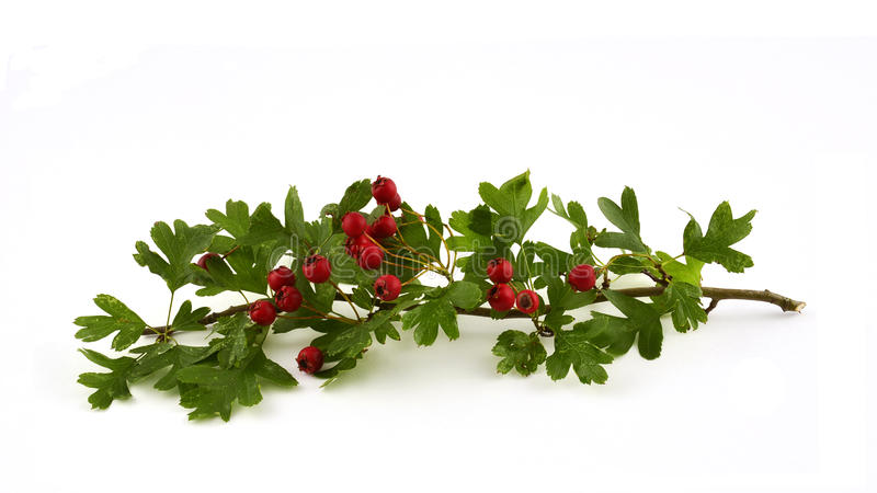 Hawthorne leaves and berries. Hawthorne leaves and red berries on white background in horizontal format royalty free stock photos