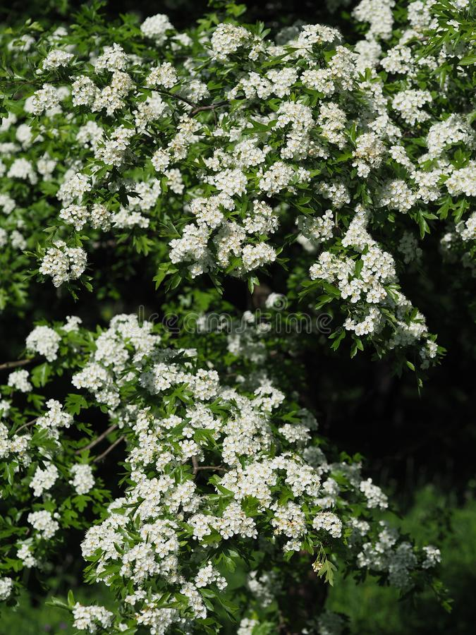 A Hawthorne tree in full bloom. Natural blooming background.  stock photography