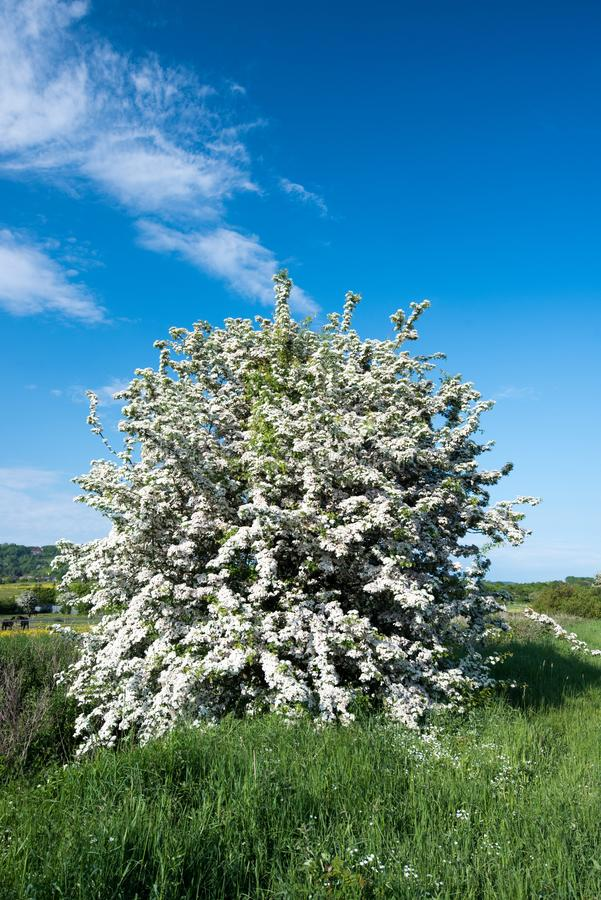 Hawthorne Tree with white blossom. A Hawthorne tree in full bloom in the English countryside royalty free stock photography