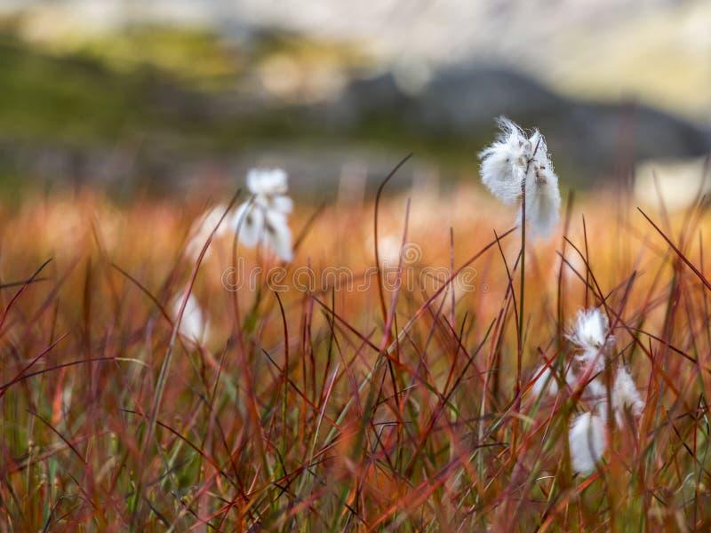 Hay в ветре на lofoten, Норвегия стоковое фото