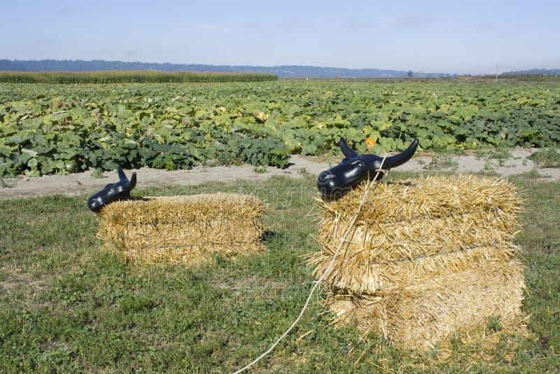 Hay bale cow at pumpkin farm stock photo