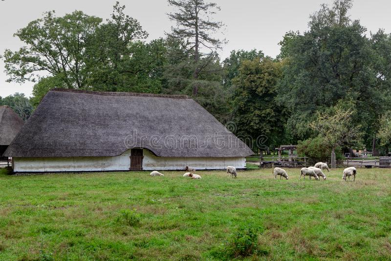 Hay barn thatched reed roof, sheep, Bokrijk, Limbourg, Belgium royalty free stock image