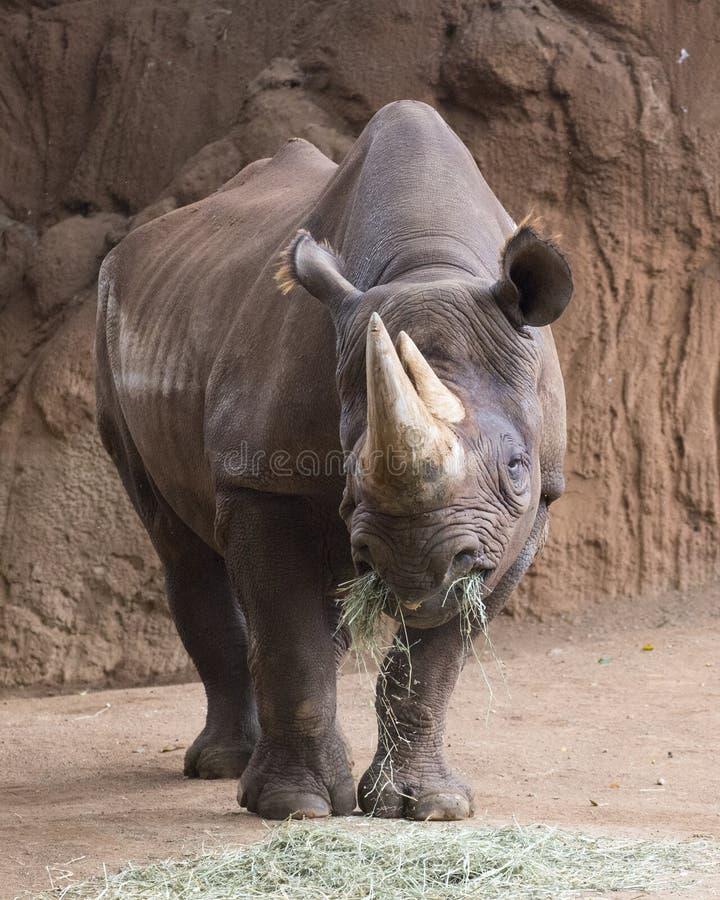 Hay Black Rhino royaltyfri fotografi