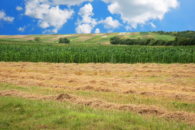 Download Hay and Corn field stock image. Image of golden, field - 10085183