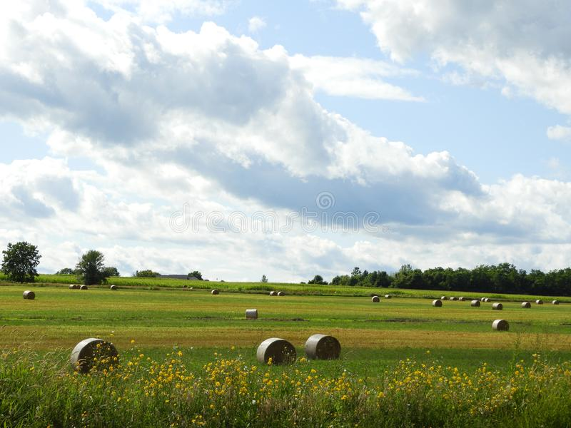 Round bale hay field bordered by yellow tickseed wildflowers royalty free stock photos