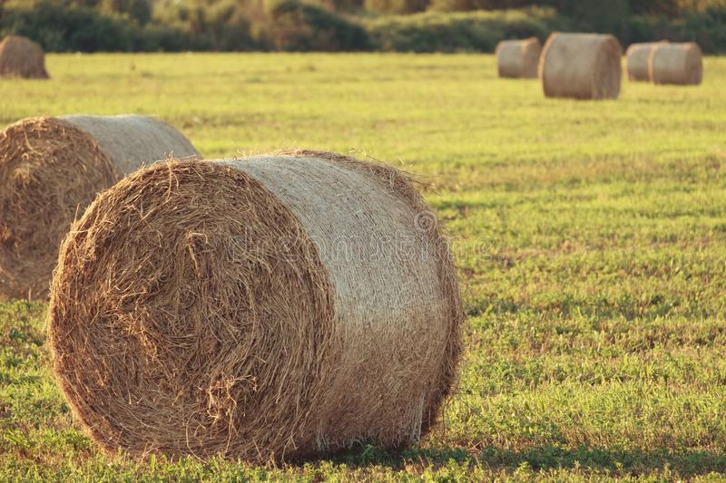 Hay rolled into a bale, sunset and sun illuminates the clearing, fodder for cattle cleaning stock image