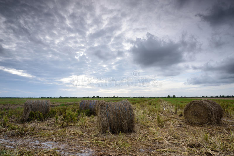 Hay Rolls in Paddy Field fotografia stock