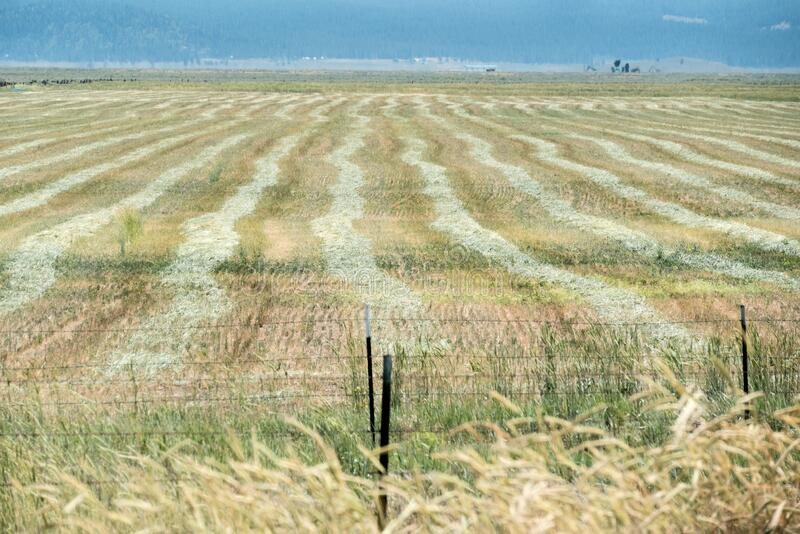 Hay rows in a field, Northern California ranch royalty free stock photos