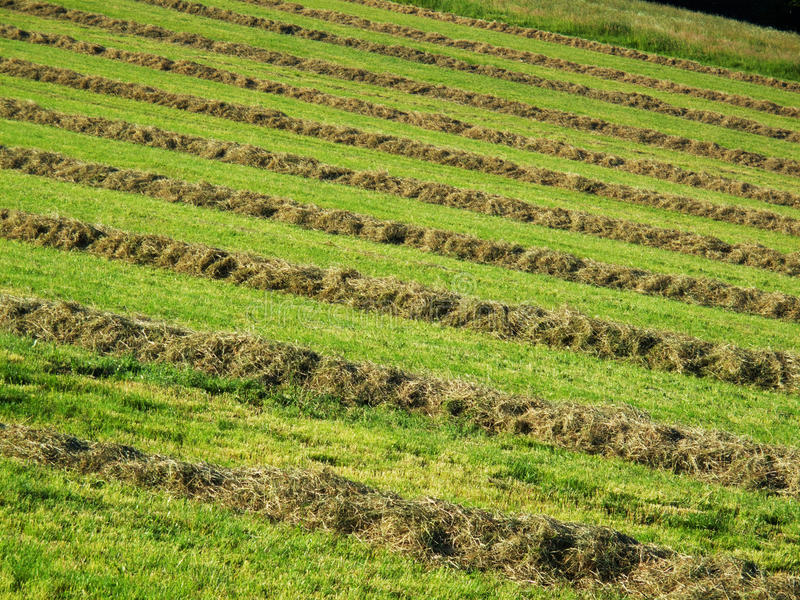Download Hay windrows stock image. Image of sunny, windrows, outdoors - 23844813
