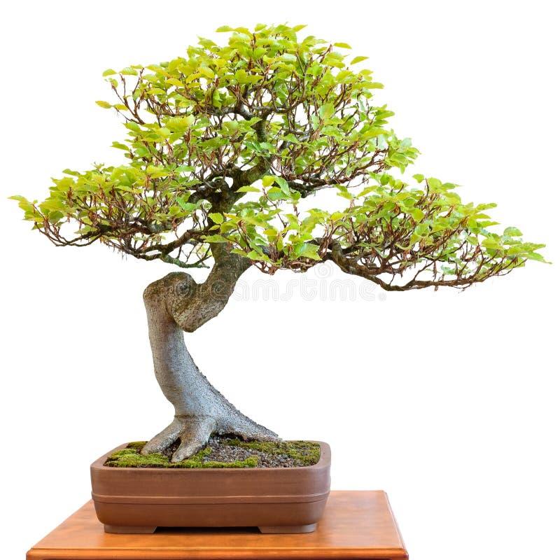 Haya europea como árbol armonioso de los bonsais fotos de archivo libres de regalías