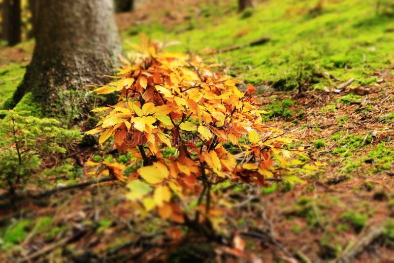 Haya joven en otoño imagenes de archivo