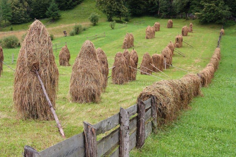 Haycocks干草堆在一个领域在罗马尼亚的Bucovina地区安排了 库存图片
