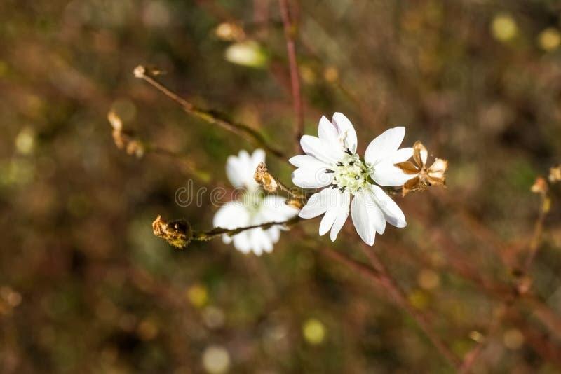 Hayfield congesta van Tarweed Hemizonia wildflower, Californië stock afbeeldingen
